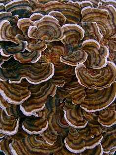 Bracket Fungi, in the south we also call this 'turkey feathers'