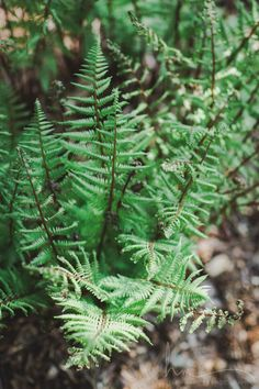 fern photograph, nature green fiddleheads garden plant, nature photo large wall art, bedroom bathroom home decor