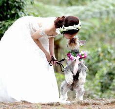 Mini Schnauzer Liam kisses the Bride