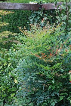 Nandina domestica 'Richmond'. Small, evergreen shrub with delicate foliage.