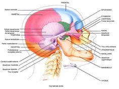 LE CRÂNE Skull Anatomy, Human Body Art, Healthy Man, Nursing Tips, Anatomy And Physiology, Study Notes, Study Motivation, Student Life, Nursing Students