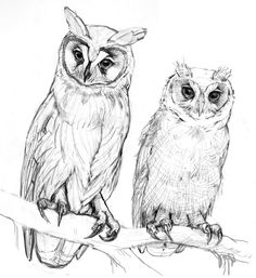 | Sketches from the archives, Striped owls (adult and juvenile). Pencil ...