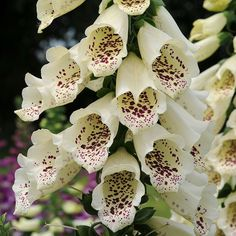 I'm loving the dalmatian series of foxglove hybrids:: Foxglove: Dalmatian Cream