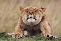 Stretching:  With a big stretch, a young lioness gets ready to set off on a hunt with the ...
