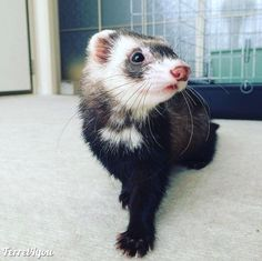 Dec 2019 - Just collection ferret outdoor photos, ferret pictures in the wild Baby Ferrets, Funny Ferrets, Pet Ferret, Cute Funny Animals, Cute Baby Animals, Animals And Pets, Long Cat, Animal Memes, Animals Beautiful