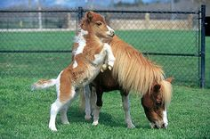 Adorable baby horse with its mother eating grass.
