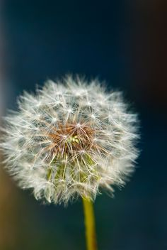 dandy by Erin Nadeau on 500px
