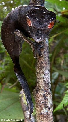 The satanic leaf-tailed gecko was observed in the Mantadia-Zahamena corridor of Madagascar in 1998: They are usually nocturnal animals - and very sensitive to landscape changes.