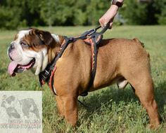 English Bulldog harness ia an exclusive dog accessory to emphasize the beauty and style of your dog! Get a unique dog product for a real price! Dog Breed Selector, Dog Training Near Me, Dog Hotel, Dog Insurance, Dog Daycare, Dog Accessories, Dog Breeds, Your Dog, Animals