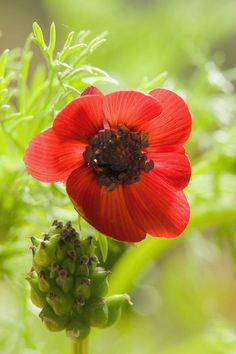 The beauty of #spring! www.digiwriting.com - Pheasant's Eye (Adonis annua)