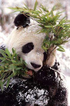 Admit it. Panda wouldn't be so cute if they fed on human flesh, heh? Photo Panda, Water Deer, Cute Panda, Panda Love, Animals And Pets, Animals Of The World, Cute Animals, Brown Bear, Panda Bears