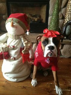 Awww - I miss having my Amy with me for Christmas this year.  She had a plaid collar and 'cuffs' that I put on her at Christmas.  Boxer's are so tolerant!