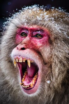 Japan Photograph - Snarling Snow Monkey - Japan by Stuart Litoff Snow Monkey Park, Monkey Monkey, Monkey Pictures, Lion Pictures, Snow Monkeys Japan, Japanese Monkey, Macaque Monkey, Types Of Monkeys, Japanese Macaque