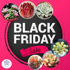 Black Friday Sale For Succulents Houseplants. Get your rare succulent houseplants online. Worldwide Shipping. Use Discount code: E10PER We bring joy to your home gardening experience.