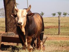Bandido o touro mais famoso do Brasil