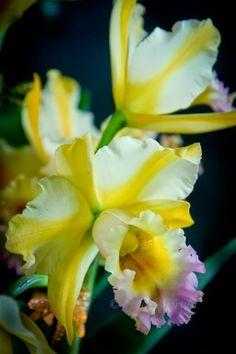 Hawaiian Orchids...