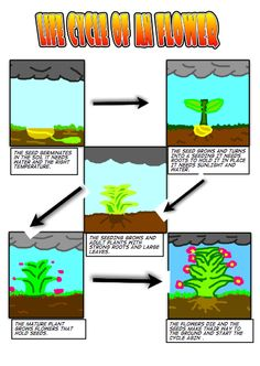 Life Cycle of a Flower created in Comic Life  #Science #ComicLife