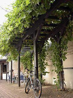 Grape vine on pergola- idea for my grape vines