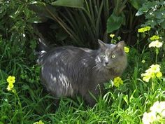 Rare cat breeds and Breed information - Nebelung