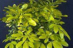 CHOISYA TERNATA  Sundance is a medium-sized evergreen shrub of rounded habit with glossy bright yellow, ternate leaves and small clusters of fragrant white flowers. Needs shelter and full Sun - container - back courtyard  2014