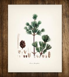 Green Pine Tree Vintage Botanical Print | Art Prints & Posters | Printed Vintage | Scoutmob Shoppe | Product Detail