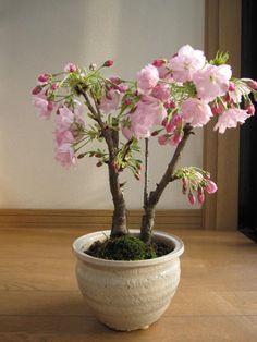 Japanese Flowering Cherry Bonsai