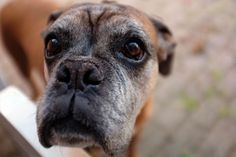 #animal #breed #canine #close up #dog #domestic animal #mammal #pet #pug #puppy