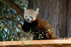 Tenzing The Red Panda at the SF Zoo. C.O. regrets the omission.