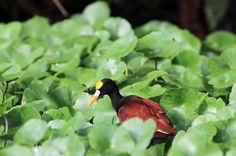 Northern jacana walking across the lily pads in Tortuguero National Park
