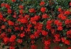 Krásných květů na muškátech dosáhnete použitím následujícího návodu na super hnojivo. Rozdrobte do vody (1 litru) 1 kostku droždí a nechte asi 14 dní kvasit. Poté roztok zřeďte 1 díl roztoku a 3 díly vody. Takto připraveným hnojivem zalijte muškáty. Diy And Crafts, Flora, Gardening, Plants, House, Garten, Home, Haus, Plant