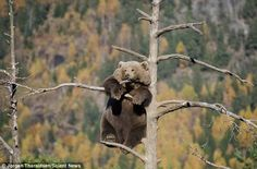 Jorgen Tharaldsen, a 41-year-old game designer from Oslo, Norway, was lucky enough to see the bear sitting at the top of the tree.Read more: http://www.dailymail.co.uk/news/article-2868176/Pawsing-Brave-bear-balances-precariously-tiny-branch-50-feet-air-enjoys-forest-views.html