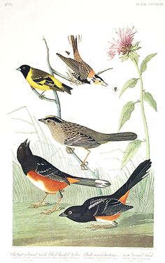 Chestnut-colored Finch, Black-headed Siskin, Black crown Bunting, Arctic Ground-Finch. From The Birds of America Amsterdam Edition by John James AUDUBON