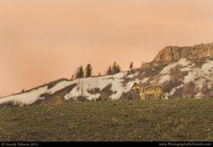 Sunrise Wolf by Henrik Nilsson