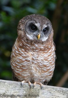 Say hellooo to Georgie, a Woodfords owl who lives at Batsford falconry centre