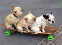 Skateboarding French Bulldogs.