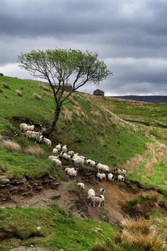pagewoman: Swaledale Sheep and Lambs, North Yorkshire, England (by Amanda Owen / The Yorkshire Shepherdess) Yorkshire England, Yorkshire Dales, North Yorkshire, Sheep Farm, Sheep And Lamb, England Ireland, England And Scotland, British Countryside, Animals Of The World
