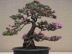 japanese garden tree wistaria - Google Search