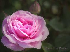 Rosenbild Gertrude Jekyll blüht auf