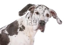 11082272-great-dane-harlequin-in-front-of-a-white-background.jpg (1350×900)