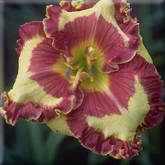 FASHION POLICE, daylily, garden, flowers - Another one of my favorites.  Slow growing but worth it.