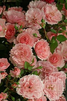 ROSA 'BONICA' (ROSE)El parque del Retiro estaba lleno de estas rosas!