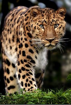 Amur Leopard endangered