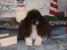 Very+Tiny+Teacup+Poodles | Teacup Poodle Male and Tiny Toy Poodle