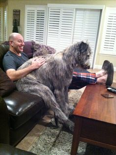I think Jack thinks he's human lol Irish Wolfhound 10 months Really Big Dogs, Huge Dogs, Giant Dogs, Horses And Dogs, Animals And Pets, Dogs And Puppies, Doggies, Cute Puppy Photos, Otterhound