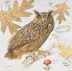 An Owl with oak leaves and a mushroom down below the branch it rests on. The illustration is done in beautiful warm tones of brown.