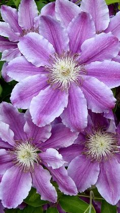 clematis_flowers_colorful_leaves
