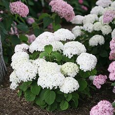 Hydrangea Invincibelle Wee White