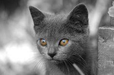The Chartreux Cat - Cat Breeds Encyclopedia
