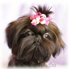 Imperial Shih Tzu and Chinese Imperial Dog Breeder