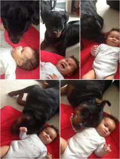 How to comfort a baby Dangerous Rottweiler style  This is why these dogs are my favourite.
